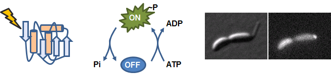 Cartoons of protein degradation, turning a protein on/off by phosphorylation, and protein localization